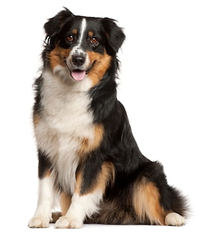 Miniature australian shepherd, 2 years old, sitting