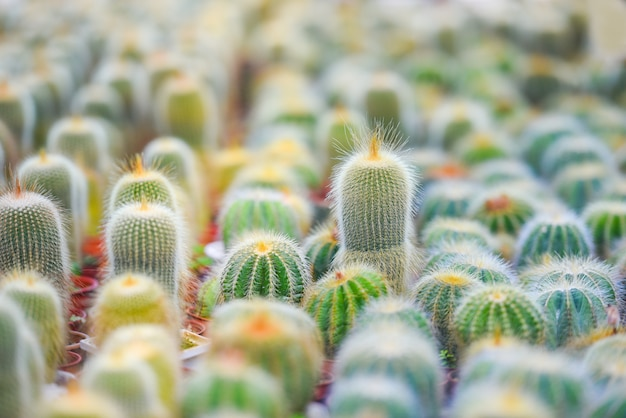 Miniature cactus pot decorate in the garden - various types beautiful cactus market or cactus farm