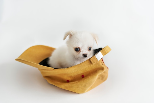 Miniature chihuahua dog concept