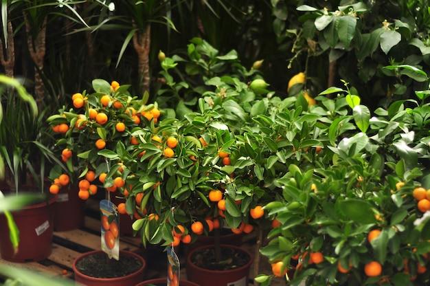 정원 가게에서 판매하는 냄비에 과일과 함께 미니어처 감귤 나무. 오렌지, 레몬, 금귤, 만다린 나무. 인테리어 용 감귤류.