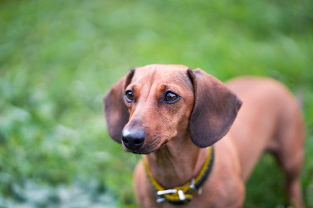 Miniature dachshund outdoor portrait in grass