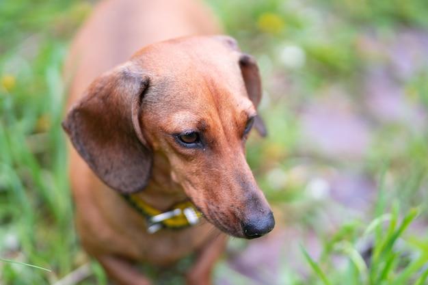 Miniature dachshund standing in long grass
