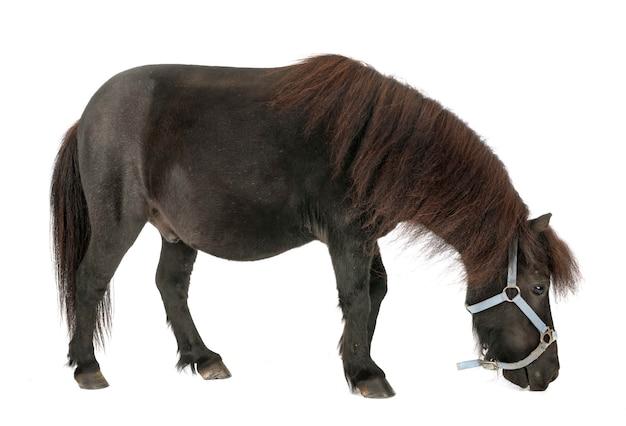 Miniature horse dog