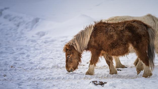Миниатюрная лошадь, пасущаяся зимой