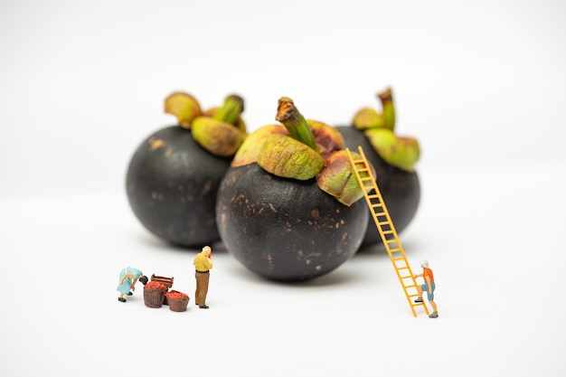 Miniature people, farmer climbing on the ladder for collecting mangosteen from big mangosteen isolated on white background.