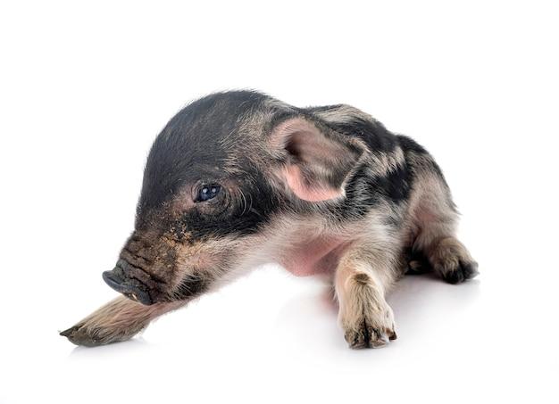 Миниатюрная свинья на белом фоне