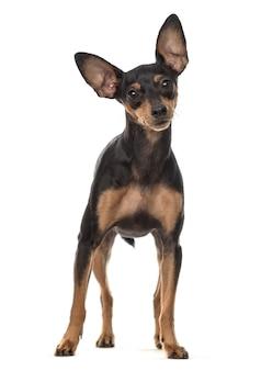 Miniature pinscher dog standing