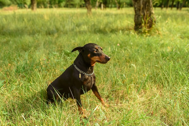 Miniature pinscher playing in the park