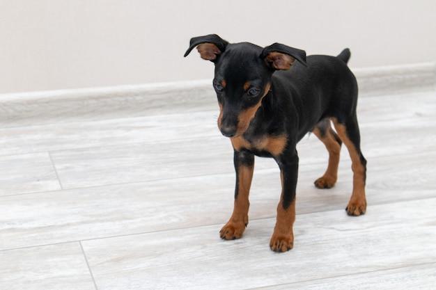 Миниатюрный щенок пинчера стоя