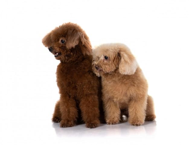 Miniature poodle dog
