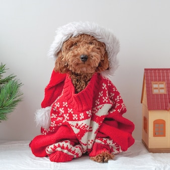 A miniature poodle is sitting in a christmas sweater next to a christmas tree and a toy house