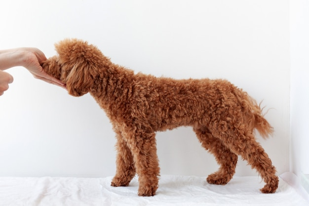 Miniature poodle red brown stands beautifully and takes food from his hand on a white background. the concept of dog training.