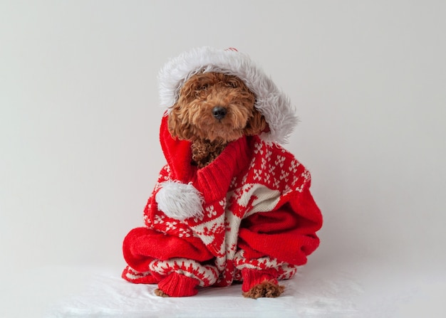 Miniature poodle sitting in a christmas sweater on a white background