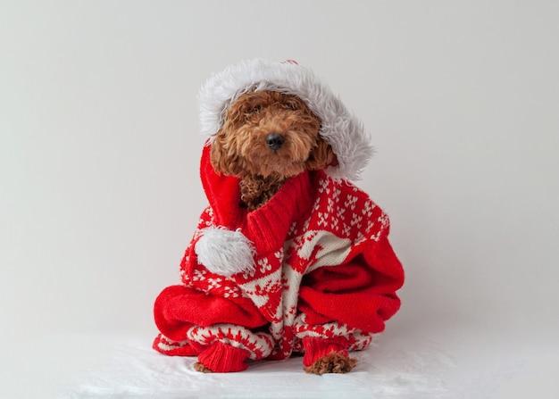 白い背景の上のクリスマスセーターに座っているミニチュアプードル