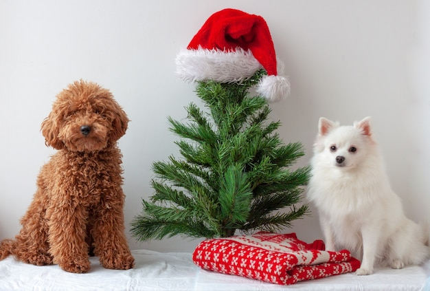 A miniature poodle and a white pomeranian sit near an artificial christmas tree
