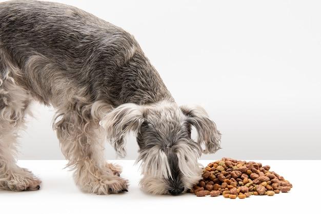 Миниатюрный шнауцер собака ест собачий корм на белом фоне