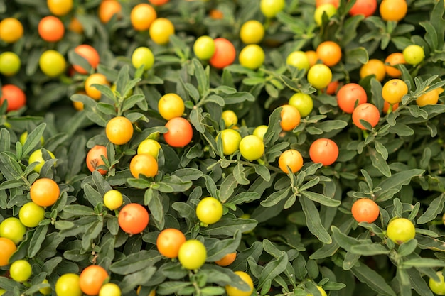 Miniature tangerines grow on the branches of a green bush