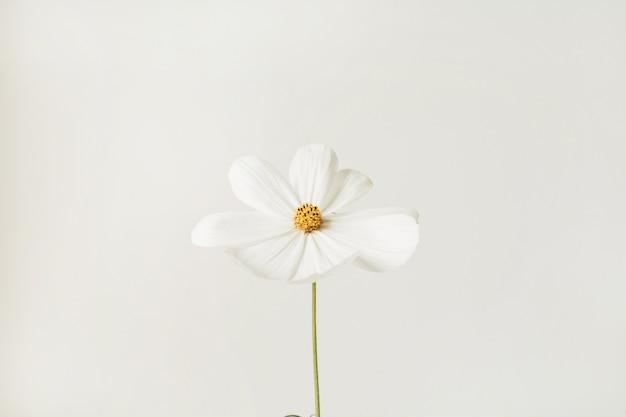 최소한의 스타일 개념. 화이트에 대 한 화이트 데이지 카모마일 꽃