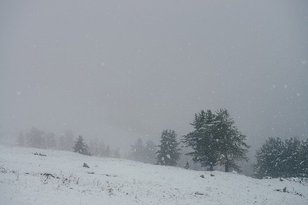 Minimal view through snowfall to snowy hillside with coniferous trees. minimalist mountain landscape with firs in snowstorm. wild spruces on snow hill in blizzard. poor visibility in winter mountains.