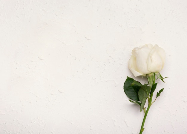 Minimalist beautiful white rose with copy space background
