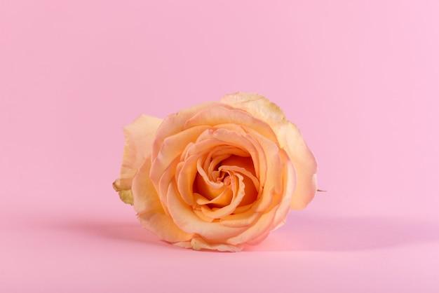 Минималистичный натюрморт с одной нежной розовой розой на цветном фоне