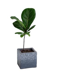 흰색 표면, 바이올린 잎 무화과 또는 ficus lyrata 유명한 인테리어 나무에 고립 된 현대 콘크리트 냄비에 최소한의 세련된 관엽 식물
