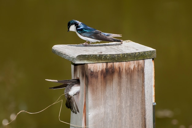 Minnesota. male tree swallow, watches as the female swallow brings material in for their new nest