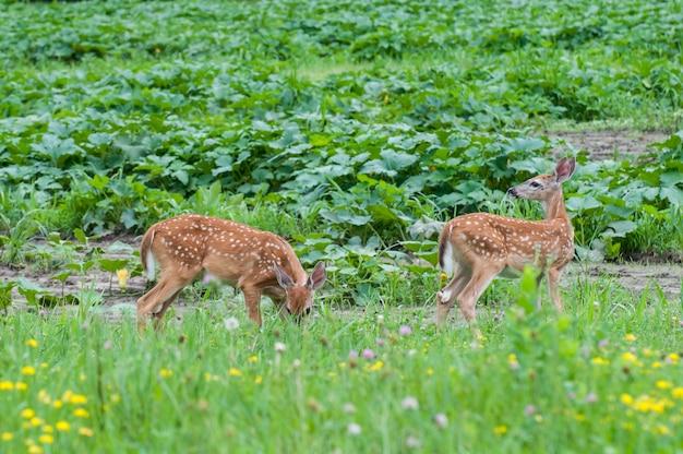 Миннесота. белохвостый олень, пара оленят поедают растительность в поле полевых цветов.