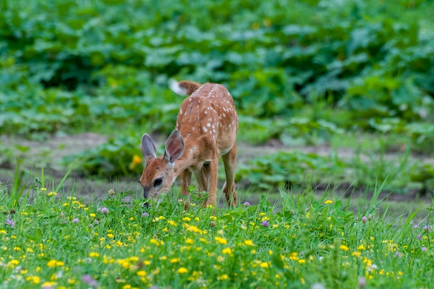 Minnesota. white-tailed deer, fawn eating the vegetation in a field of wildflowers.