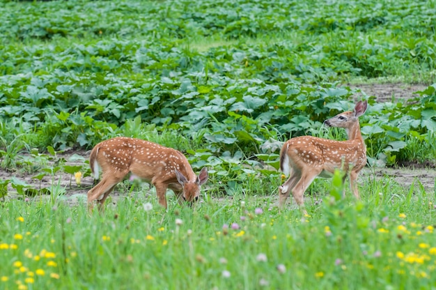 Minnesota. white-tailed deer, a pair of fawns eating the vegetation in a field of wildflowers.