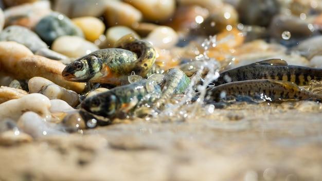 Гольяны размножаются на берегу реки