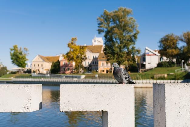 Минск, беларусь. сентябрь 2019 года. голубь на фоне троицкого предместья