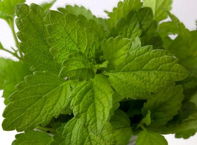 흰색 바탕에 민트 부시입니다. 약과 음료에 사용하기 위한 녹색 식물.