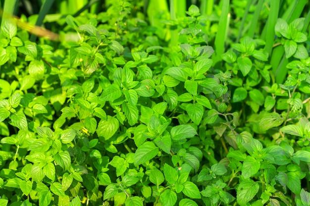 Mint bushes top view.