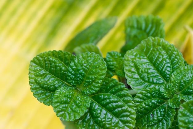 요리를 위한 민트 향료와 열을 내리기 위한 약초.
