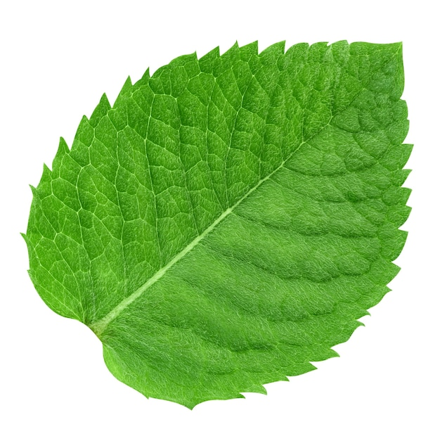 Mint leaf isolated on white background. mint.