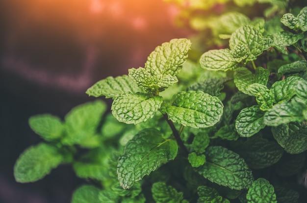Монетный двор оставляет листья листьев зеленых растений