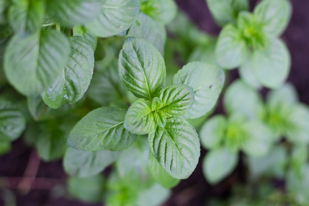 유기 정원 식물의 민트 잎