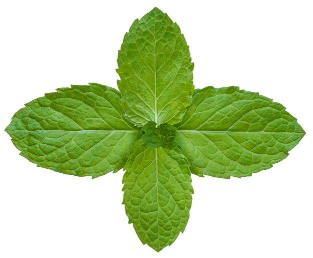 ミントの葉は白、ミントはクリッピングパスと白で隔離されます。