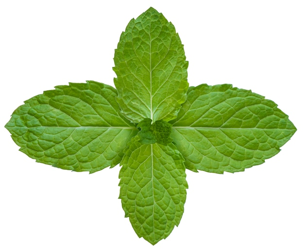 Mint leaves isolated on white, mint on white with clipping path.
