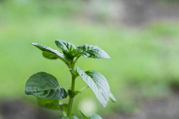 Mint leaves on the organic garden plant in spring