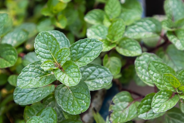 ミントの葉の植物は有機野菜の庭で育ちます