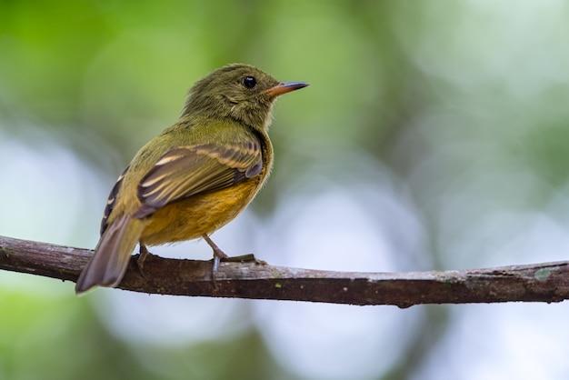 Mionectes oleagineus / охристая мухоловка, птица, тихо сидящая на ветке, дикая природа из южной америки. наблюдение за птицами в колумбии.