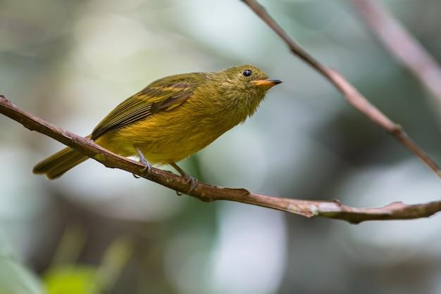 Mionectes oleagineus / охристая мухоловка, любопытная птица оливкового цвета, которая что-то ищет на дереве. встречалась в пуэрто беррио, антиокия.