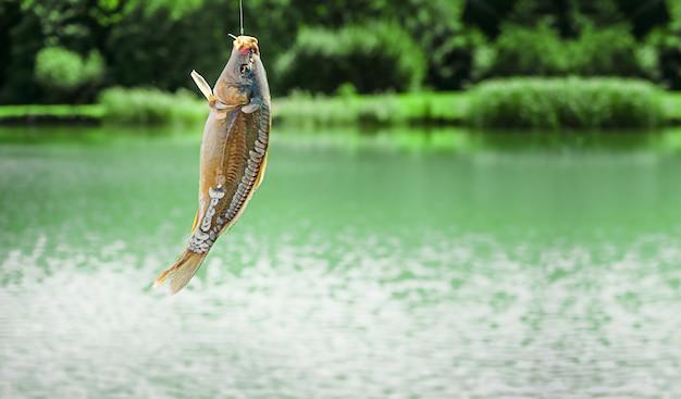 Зеркальная рыба карпа, висящая на крючке на фоне озера. копировать пространство