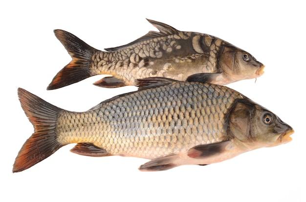 Mirror and scaly carp on white