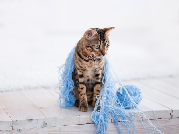 いたずらとトラブルメーカーの猫。ベンガルキティは青い毛糸で覆われて座っています。ペットの破壊的なレッキングプレイゲーム。白色の背景