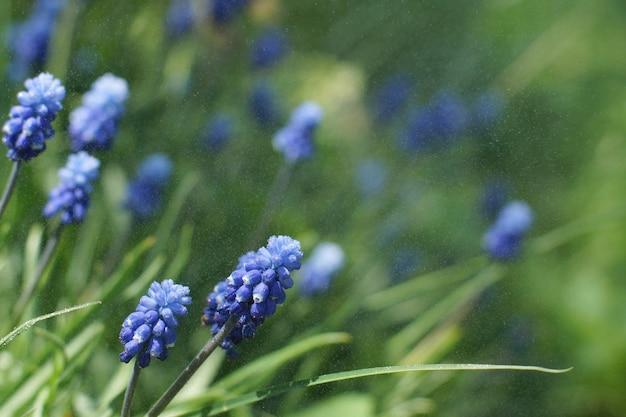 夏の日の緑の芝生を背景にミスクリの花