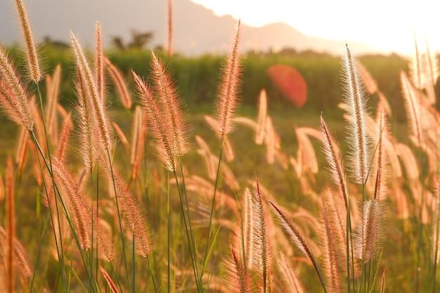 흐릿한 녹색 잔디와 햇빛 배경이 있는 시골 길 옆에서 자라는 미션 잔디