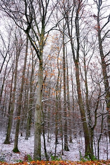 Misterious forest of tall trees with some brown leaves in a grey day of winter.